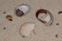 Pantoffelschnecke, Pantoffel-Schnecke, leere Schalen im Angespül, Spülsaum, Porzellanpantoffel, Crepidula spec., slipper limpet, slippersnail