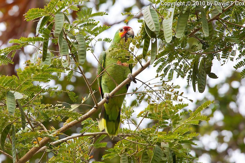 Red-lored Parrot, Tikal, Peten, Guatemala
