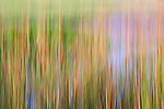 Abstract of cattail reeds and pond reflection