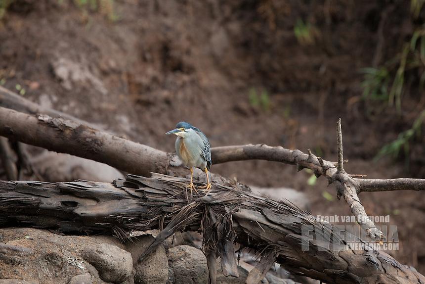 Green-backed Heron..Ndumo Game Reserve, Kwazulu-Natal, South Africa. November 2010.