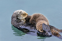 Sea Otter (Enhydra lutris) mom with young pup in sheltered bay on Prince William Sound, Alaska.  Spring.   Pup is nursing while mom rests.