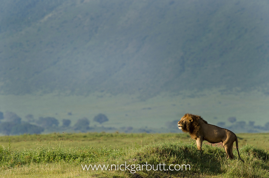 Male Lion (Panthera leo) roaring, early morning in Ngorongoro Crater. Ngorongoro Conservation Area, Tanzania. March 2010.