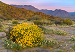 Anza Borrego Desert State Park, California:<br /> Morning light on Yaqui Meadows brittlebush (Encelia farinosa)