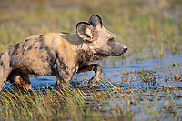 """We called this Painted Wolf (aka African Wild Dog) (Lycaon pictus) the """"Pale Male"""" because of his light coloration. Here he crosses a stream, following the alpha female. When they are on the move, the Painted Wolves tend to take exactly the same path as the individual in front of them - whether in the woods, open ground, or the water. Makes it easy to set up and pre-focus, even if you miss the leader."""