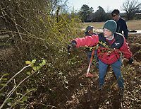 NWA Democrat-Gazette/ANDY SHUPE<br /> Jane Foster (center) of West Fork pulls a Japanese honeysuckle vine and Chinese privet branches from alongside a trail as fellow volunteer Karen Takemoto (left) of Farmington and Nate Weston, program coordinator for Beaver Watershed Alliance, work together Friday, Jan. 5, 2017, during a work day organized by the alliance in Taylor Park in Greenland. Volunteers gathered to remove invasive plant species and protect a few rare native plants found in a spillway and bioswale in the park as a way to protect the watershed that contributes water to Beaver Lake from erosion.