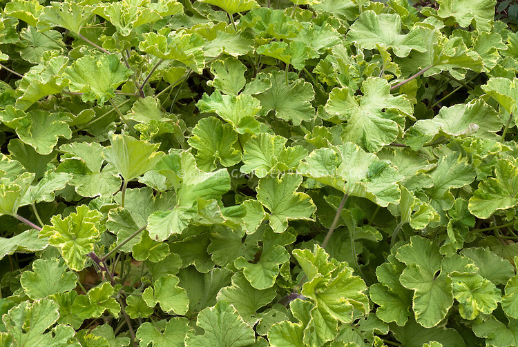 Pelargonium 'Atomic Snowflake' scented geranium, variegated foliage, Spicy Geranium that smells like rose, lemon-rose and eucalyptus flavors