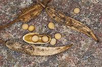 Weißer Senf, Weisser Senf, Gelbsenf, Frucht, Schote, Samen, Senfkorn, Senfkörner, Sinapis alba, Brassica alba, White Mustard, Fruit, pod, seed pouch, seed, mustard seed