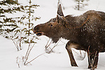 A young moose walks through the snow among the trees in winter.