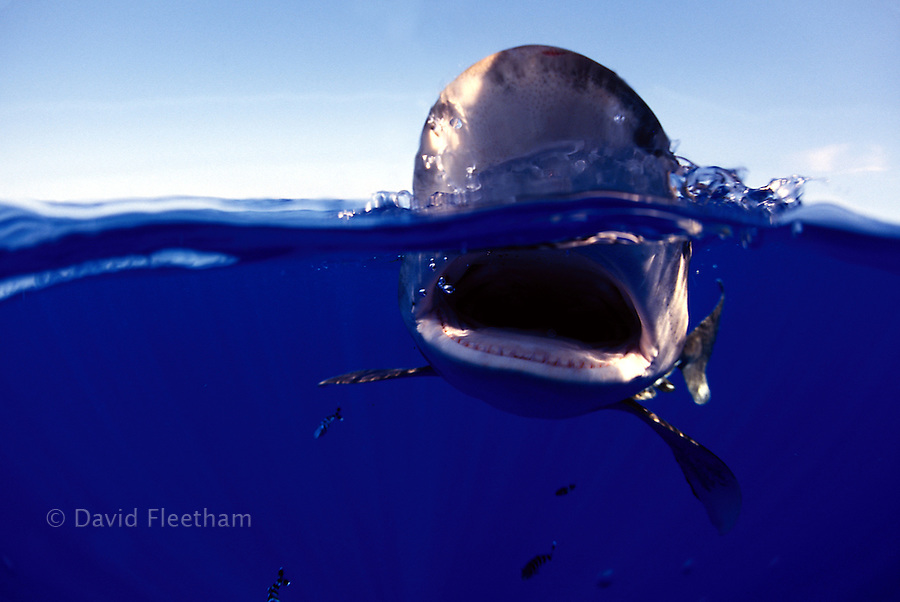 This split image of an oceanic whitetip shark, Carcharhinus longimanus, was taken with a Canon 15mm full frame fisheye lens several miles off the Big Island in open ocean.  Hawaii.