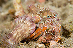 Anilao, Philippines; an Anemone Hermit Crab (Dardanus pedunculatus) moving across the rocky sea floor