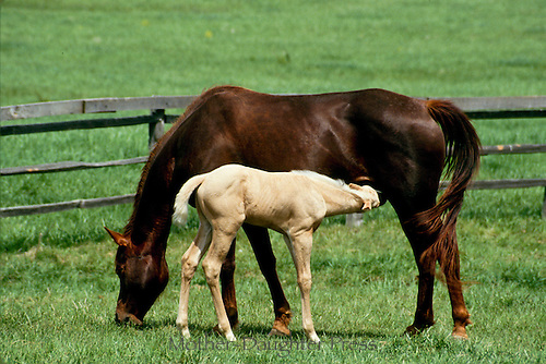 Foal nursing from mare while both stand in green pastures with split rail fence