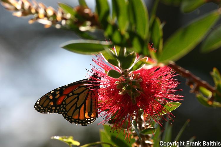 monarch butterfly on bottle bush