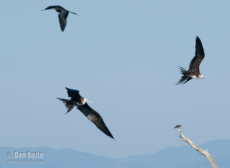 Immature magnificent frigatebirds, Fregata magnificens, near the mouth of the Tarcoles River, Costa Rica