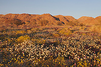 Parish's Gold Poppy (Eschscholzia parishii), Chia (Salvia columbariae), Brown-eyed Primrose, (Camissonia claviformis), Joshua Tree National Park, California, USA