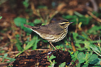 Northern Waterthrush, Seiurus noveboracensis,adult, High Island, Texas, USA, April 2001