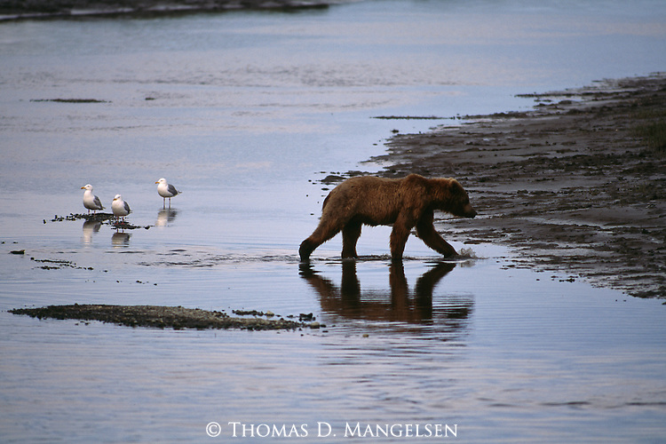 A reflection of a Grizzly bear walking by gulls in Alaska