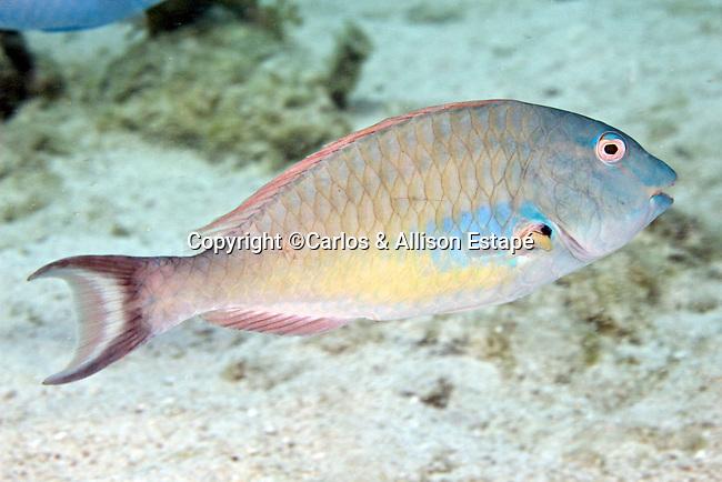 Sparisoma chrysopterum, Redtail parrotfish, Florida Keys