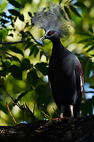 """Western crowned pigeon, (Goura cristata), Aiduma Island, Triton Bay, near mainland New Guinea, Western Papua, Indonesian controlled New Guinea, on the Science et Images """"Expedition Papua, in the footsteps of Wallace"""", by Iris Foundation"""