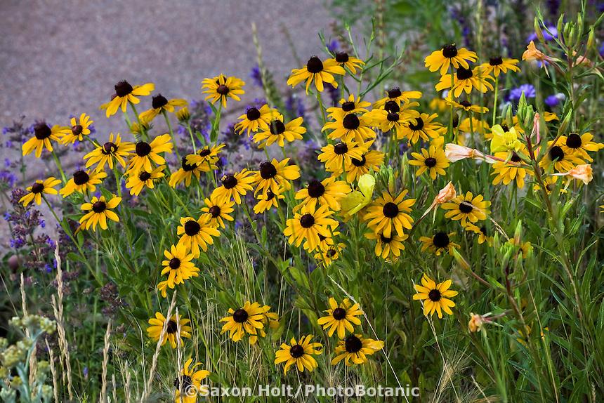Yellow flower Black-eyed Susan, Gloriosa Daisy (Rudbeckia hirta) in summer garden