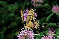 03017-00603 Giant Swallowtail butterfly (Papilio cresphontes) on Wild Bergamot (Monarda fistulosa),  Marion Co. IL