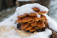 Gemeiner Samtfußrübling, Gemeiner Samtfuß-Rübling, Winterpilz, Winter-Pilz, Enoki, Enokidake, Enokitake, im Winter bei Schnee, Flammulina velutipes, Collybia velutipes, golden needle mushroom, winter mushroom, velvet foot, winter fungus, velvet stem, collybie à pied velouté