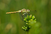 362740011 a wild female saffron-winged meadowhawk sympetrum costiferum perches on a small wildflower in mono county california