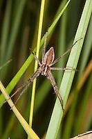 Listspinne, List-Spinne, Raubspinne, Raub-Spinne, Pisaura mirabilis, Pisauridae, Raubspinnen, fantastic fishing spider