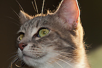 Lucca peers off into the distance while being backlit by the setting sun.  I love her mostly-closed pupils in her green eyes, and the highlighted whiskers (both nose and eyebrow).  If you look closely, you can even see her eyelashes :)