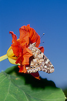 Beautiful Painted Lady butterfly inside orange natsturtium flower