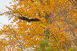 A bald eagle lands among fall aspen trees near Anchorage, Alaska.