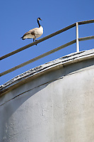A Canada Goose stands atop one of remaining storage silos at the Calaveras Concrete plant.<br />