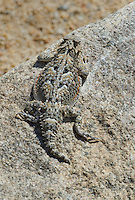 437800019 a wild southern desert horned lizard phrynosoma platyrhinos calidiarum sitting on a rock along tungsten road bishop inyo county california