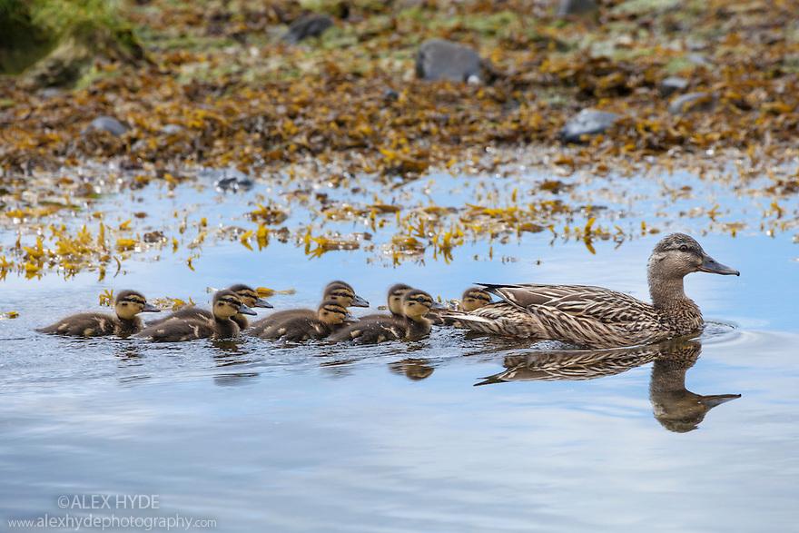 Mallard duck {Anas platyrhynchos} female with ducklings, Isle of Mull, Scotland, UK. June.