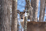 White-tailed deer peering between the trees in a northern forest.