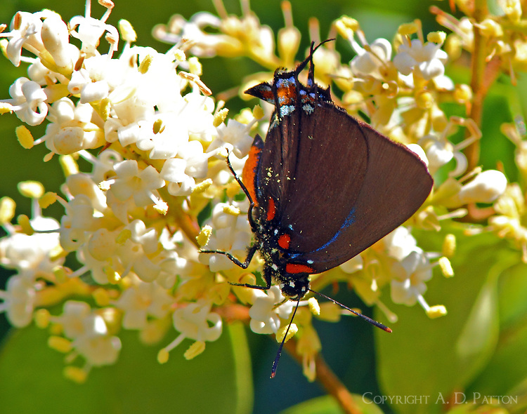 Great purple hairstreak male