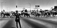 ELEPHANT WALK: Oakland policeman hold up traffic for elephants on their way to the Oakland Coliseum for the circus. (1983 photo by Ron Riesterer)