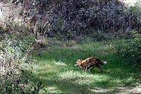 Una volpe nel Parco Nazionale del Gran Paradiso, in Val d'Aosta.<br /> A fox runs at the Gran Paradiso National Park, Aosta Valley.<br /> UPDATE IMAGES PRESS/Riccardo De Luca