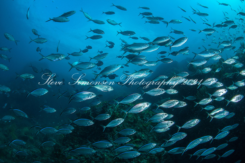 Reef at Bull Point with schooling Jacks<br />