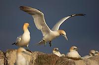 Gannet, Scotland