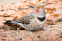 A Northern Flicker, Colaptes auratus, searches for food among downed Ponderosa Pines.