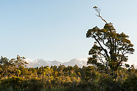 Coastal native forest at Gillespies Lagoon with Southern Alps in distance, Westland Tai Poutini National Park, South Westland, UNESCO World Heritage Area, New Zealand, NZ