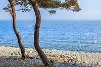 Trädstammar på tallar vid stenstranden på Torö vid det blåa havet Östersjön utanför  Stockholms skärgård.