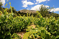 Unique Robola Grape Vineyards of Kefalonia, Ionian Islands, Greece.