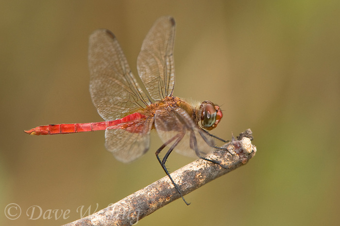 379120005 a wild female red-tailed pennant dragonfly brachymesia furcata on a small branch in bentsen rio grande valley state park texas