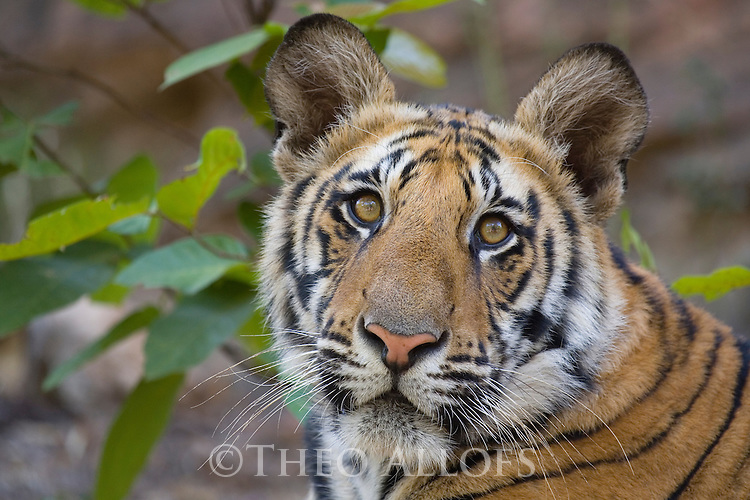 Bandhavgarh National Park, India; 11 months old Bengal tiger cub, close-up, dry season, April