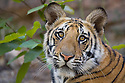 Bandhavgarh National Park, India; 11 months old Bengal tiger cub, close-up, dry season, April