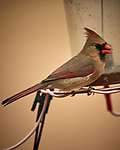 Northern Cardinal (female). Image taken with a Nikon D5 camera and 600 mm f/4 VR lens (ISO 400, 600 mm, f/4, 1/1250 sec).