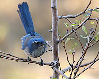 The Western Scrub-Jay is a fixture of dry shrublands, oak woodlands, and pinyon pine-juniper forests, as well as conspicuous visitors to backyards.