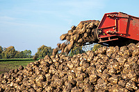 Lifting sugar beet - Lincolnshire, October