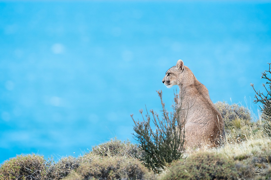 "We saw this wild female Puma (Puma concolor) as a cub in 2018. Her mother is called ""Sarmiento"" - her territory covers the area surrounding Lago Sarmiento, pictured in the background. This cat, called ""Petaca"" (little one) by local guides, surveys the heights bordering the lake. Apparently her mother has allowed her to hang in the territory, at least for now."